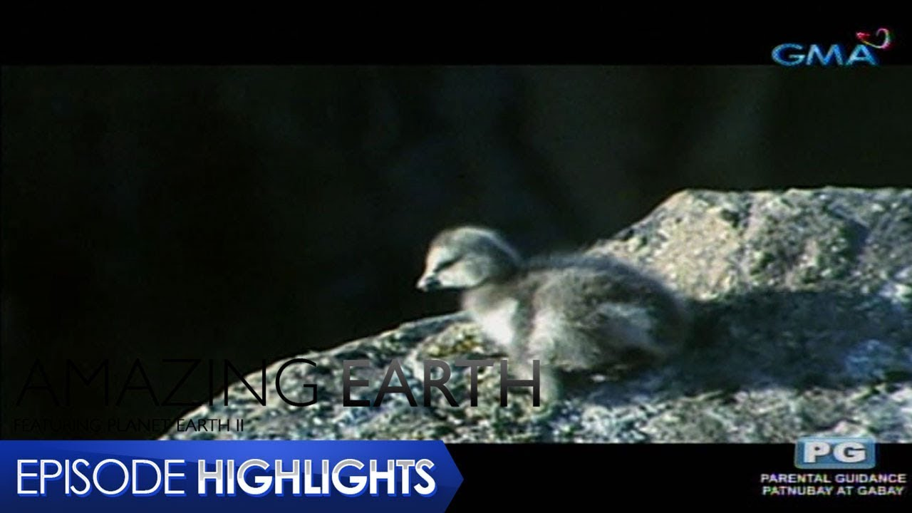 Amazing Earth: Special abilities of North American Wood Ducklings