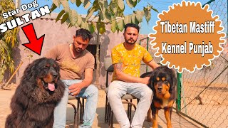 Tibetan Mastiff Kennel Punjab ||  Giant Dog Breed With KCI Registration || Chahal Kennel