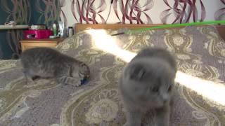 шотландские котята.Isidora и Irena. ПРОДАЖА!