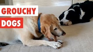 Grouchy Dogs | Funny Dogs Video Compilation 2017