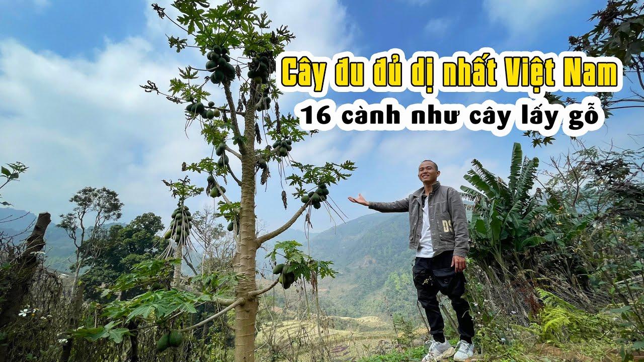 Cây đu đủ 16 cành khủng ở làng đất sét bản Chang, Cao Bằng - Travel Cao Bang Vietnam