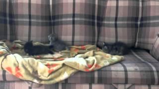 КотЯта - две девочки, черная с дымчат и серая АсЯ