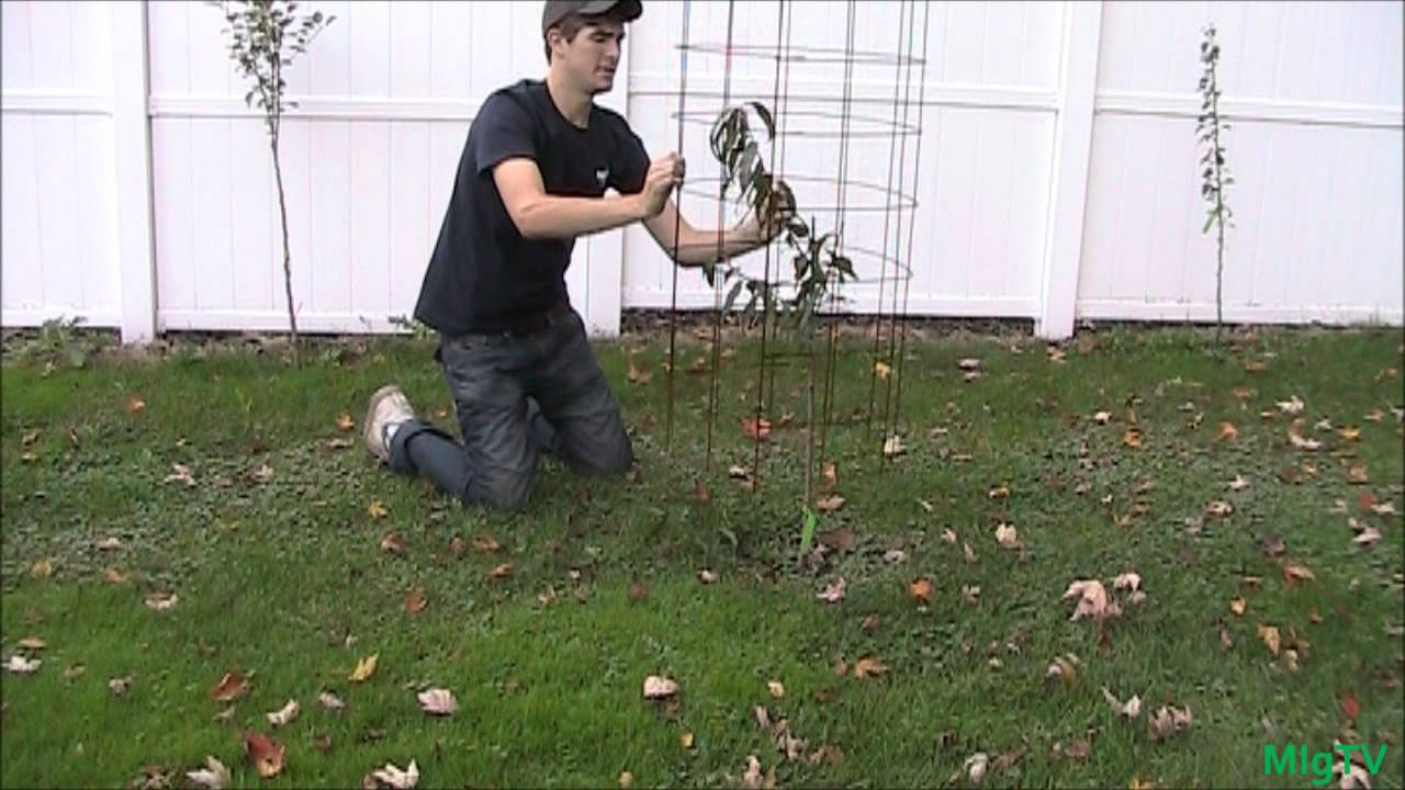 Use your tomato cages to protect young fruit trees youtube - Protecting fruit trees in winter ...