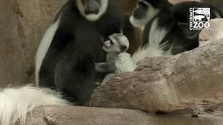 2 Month Old Colobus Monkey Baby - Cincinnati Zoo