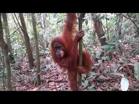 Trip to Sumatra, Toba lake and Bukit Lawang 2015