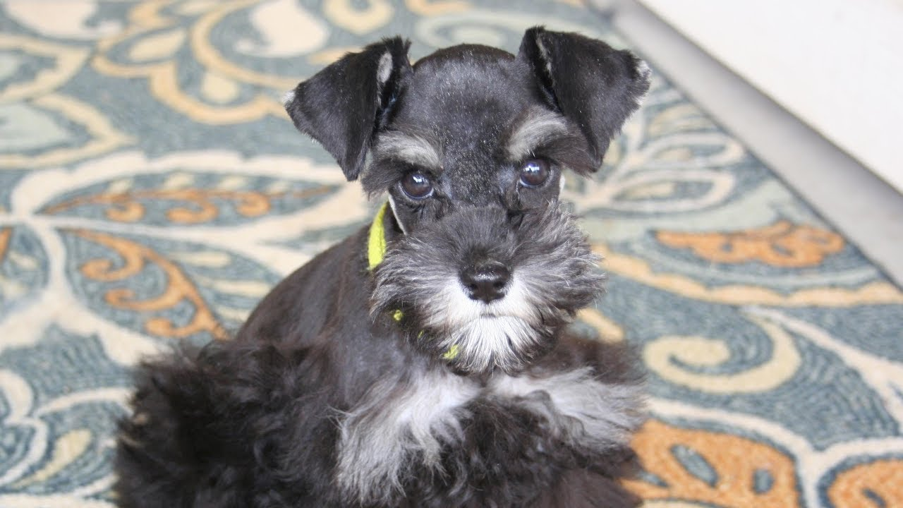 Black Silver Toy Schnauzer Puppy In