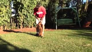 Malinois Puppy 11 Wks Luring For Basic Obedience Positions