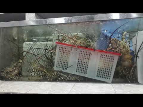 cách nuôi tôm sú trong bể kính