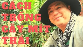 Hướng Dẫn Cách Trồng Cây Mít Thái Con | Kỹ Thuật Trồng Và Chăm Sóc Mít Thái