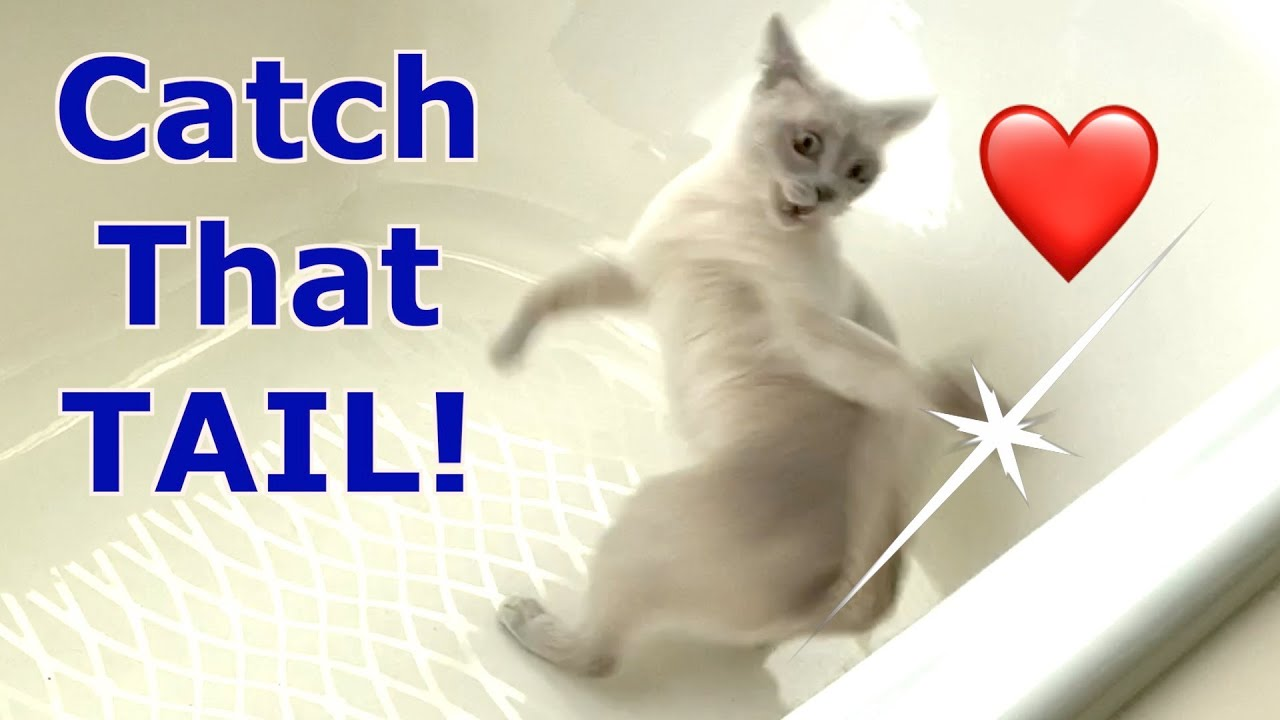 Luna's Fabulous Tail! Platinum Burmese Cat Chases Her Tail! Cute, Adorable & Funny!