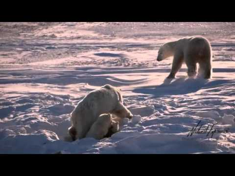 Warming Climate Takes its Toll on Polar Bears of Hudson Bay