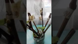 видео Черенки из корней