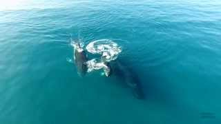 4k Drone Whale Footage Hawaii