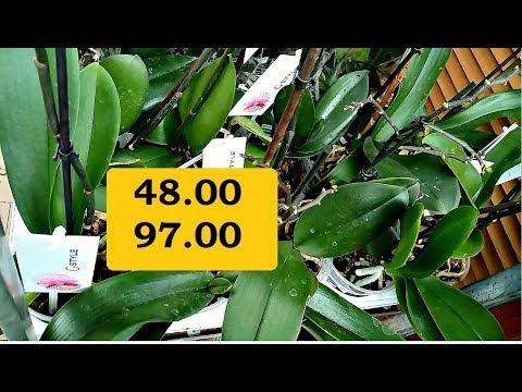 Орхидея Уценка. Орхидеи Фаленопсисы Недорого Отцветшие. Эпицентр (Оби) Купить в Харькове!