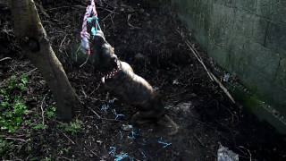 "[hd] Dog Vs. Tree. ""spring Pole"" Dog Toy. Pitbull / Staffordshire Bull Terrier ( Bungee Springpole )"