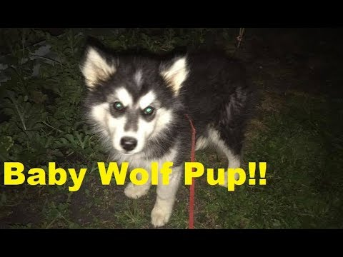 New Wolf Puppy!!!  Giant Alaskan Malamute