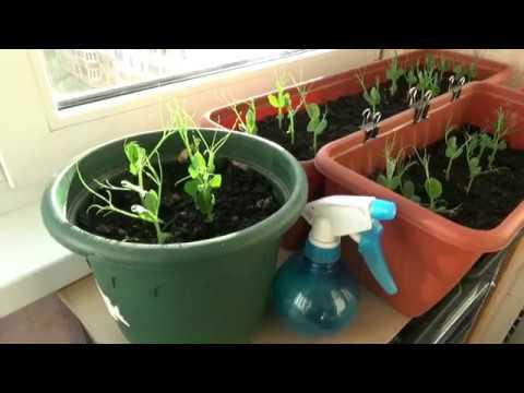 Эксперимент!! выращиваем горох на балконе.
