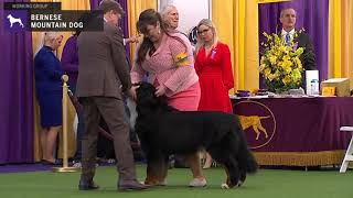 Bernese Mountain Dogs | Breed Judging 2020