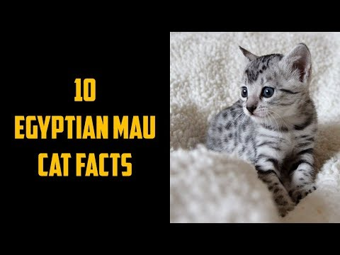 10 Egyptian Mau Cat Facts | Animals Unlimited | Sameer Gudhate