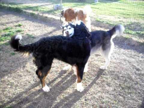 Saint Bernard Bernese Mountain Dog Alaskan Malamute 1