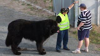 10 Magnificent Large Dog Breeds