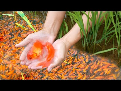 So Lucky Day! Find Gold Fish, Color Fish and other Fish in my Rice Field