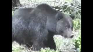 """медведь.""""дикие звери Уссурийской тайги"""""""