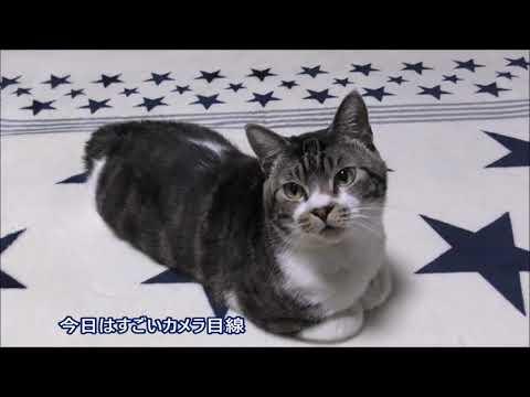 目線は絶対外さない!?サービス精神旺盛な猫リキちゃん☆貫禄すら感じる香箱座り【リキちゃんねる 猫動画】Cat videos キジトラ猫との暮らし