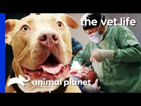 Vet Removes Enormous 16lb Tumor From Dog's Abdomen | The Vet Life