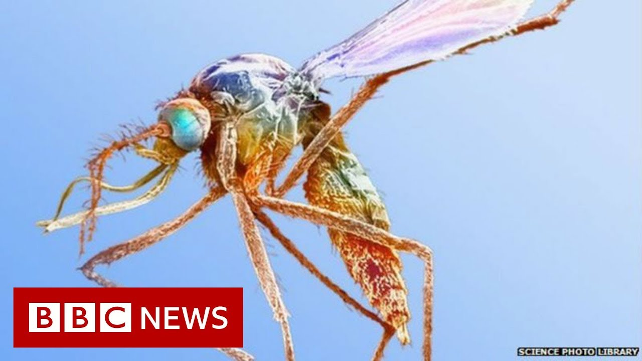 The great mosquito swap - BBC News