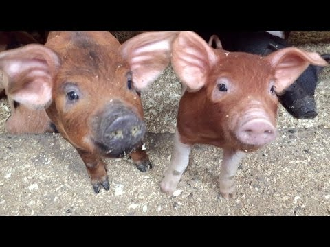 7 Things I Wish I Knew Before We Brought Home Our Piglets