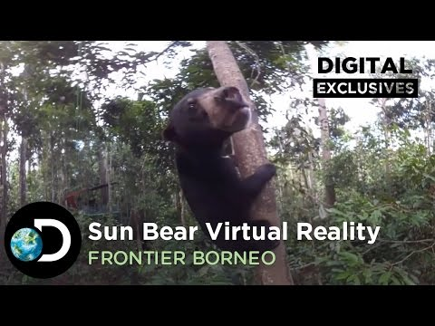 Borneo VR: Look up for the Sun Bear | Frontier Borneo