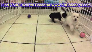 Boston Terrier, Puppies, For, Sale, In, Cincinnati, Ohio, Oh, Westerville, Huber Heights, Lima, Lanc