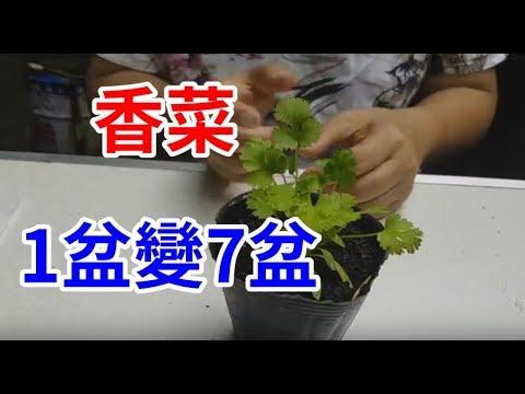 種香菜 一盆變七盆 只要20元