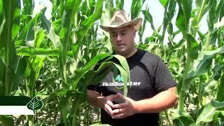 EkoBoosterMAX na kukuruzu Sygenta i Dekalb , ratarstvo