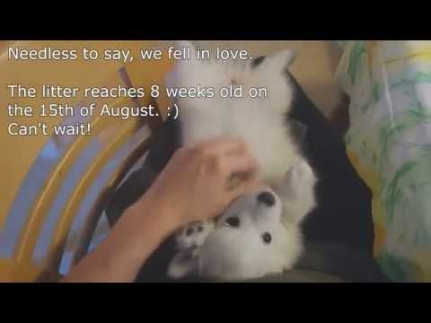 E1 - Japanese Spitz Dogs -  Visiting the breeder and meeting the litter.