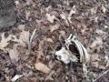 Shed hunting 2012 (Found 3 dead bucks)
