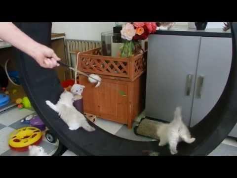 5 Week Old Ragdoll Kittens in exercising on the cat wheel
