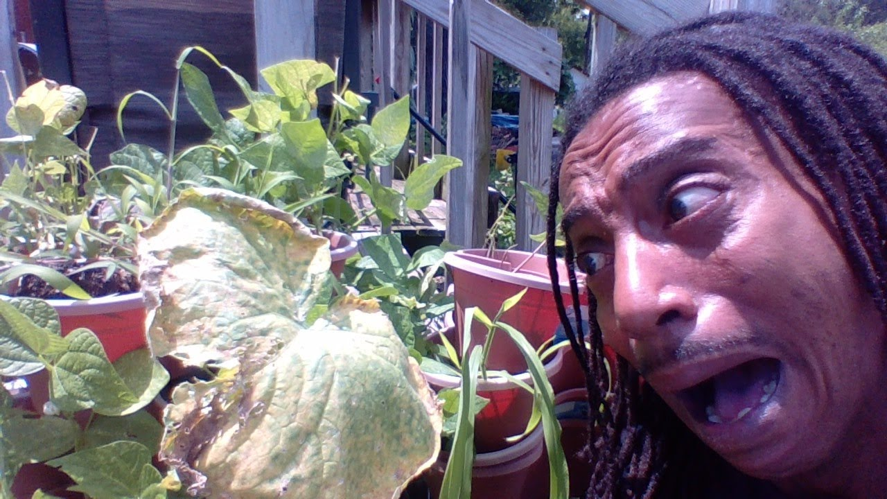 WHY ARE MY LEAVES TURNING YELLOW   Cucumber Melons Squash   DO NOT PULL UP YOUR PLANT FIRST  #withme