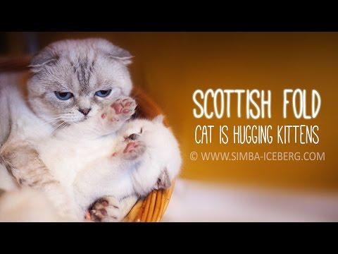 Scottish fold cat is hugging kittens | Simba Iceberg cattery