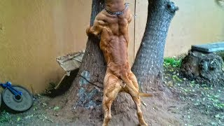 Esta es la musculatura del perro mas FUERTE Y PODEROSO, El pitbull
