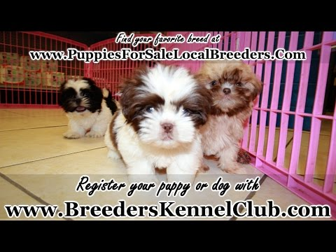 Shih Tzu, Puppies For Sale, In Knoxville, County, Tennessee, TN, 19Breeders, Murfreesboro, Jackson