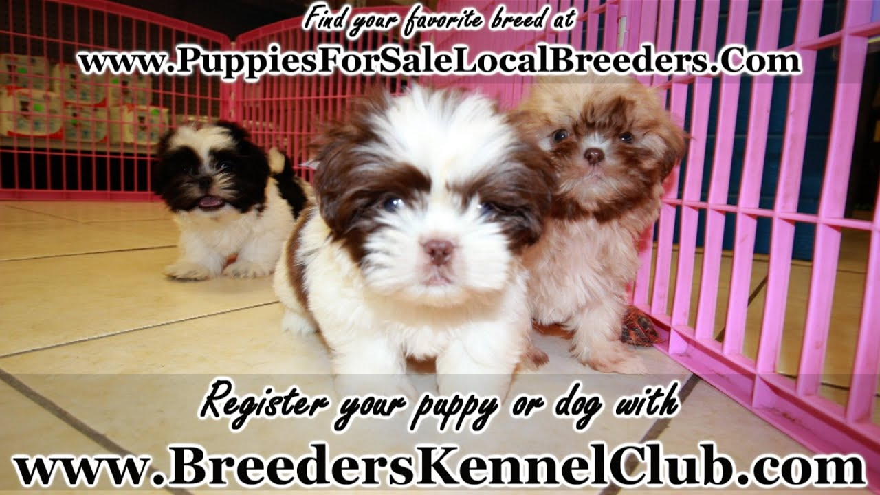 Shih Tzu, Puppies For Sale, In Knoxville, County ...