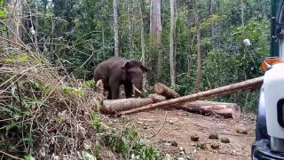 Loading of logs by elephant