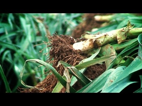 el-cultivo-de-puerros