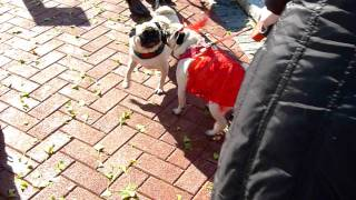 2011 Bronxville Annual Halloween Pug Parade!