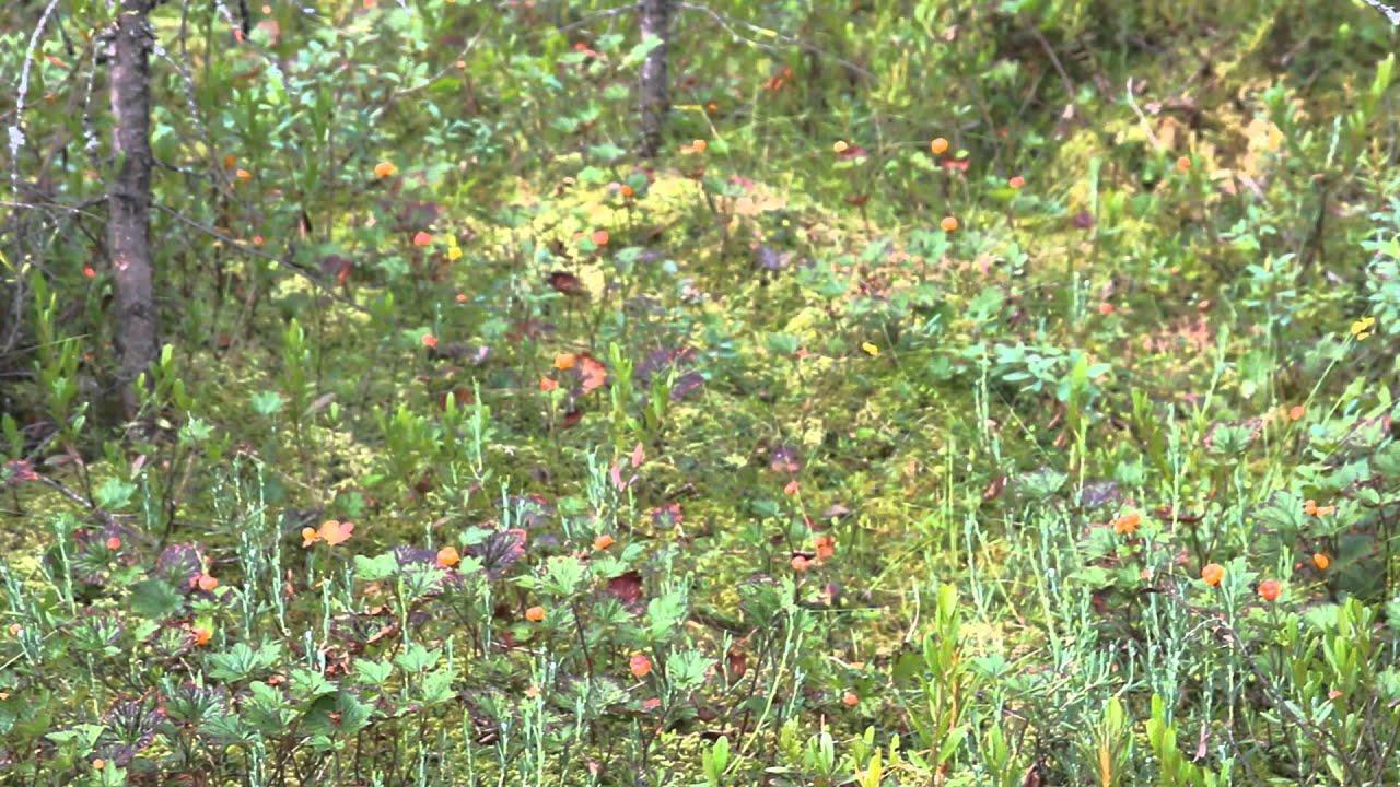 фото морошки на болоте