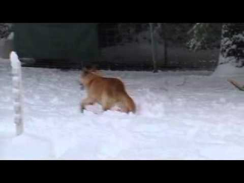 Siberian Husky And German Shepherd Yellow Lab Mix Play In The Snow