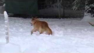 Siberian Husky And German Shepherd Yellow Lab Mix, Play In The Snow