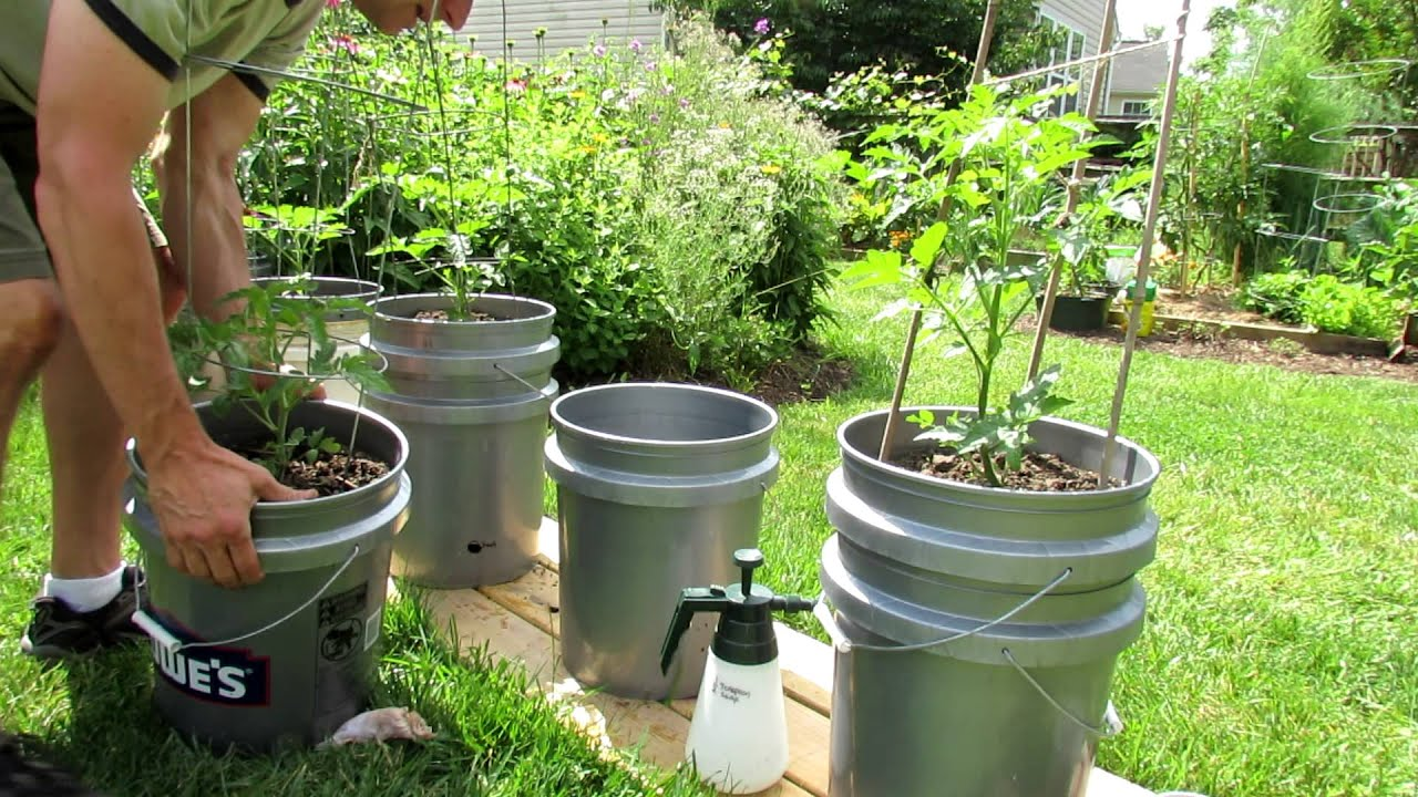 TRG 2012: Early Update On My Self Watering Tomato Container Garden   YouTube